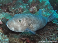 Scuba diving Moalboal 016