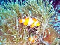 Scuba diving Moalboal 017