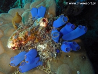 Scuba diving Moalboal 018
