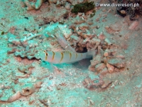Scuba diving Moalboal 019