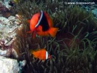 Scuba diving Moalboal 021