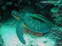 Scuba diving Moalboal 029