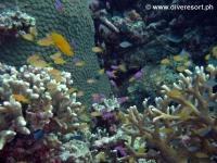 Scuba diving Moalboal 032