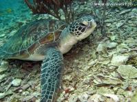 Scuba diving Moalboal 041