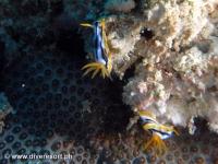 Scuba diving Moalboal 042