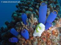 Scuba diving Moalboal 052