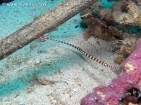 Scuba diving Moalboal 056