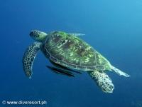 Scuba diving Moalboal 092