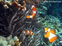 Scuba diving Moalboal 094