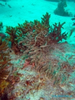 Malapascua Scuba diving 39
