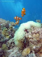 Scuba diving Panglao Island 08